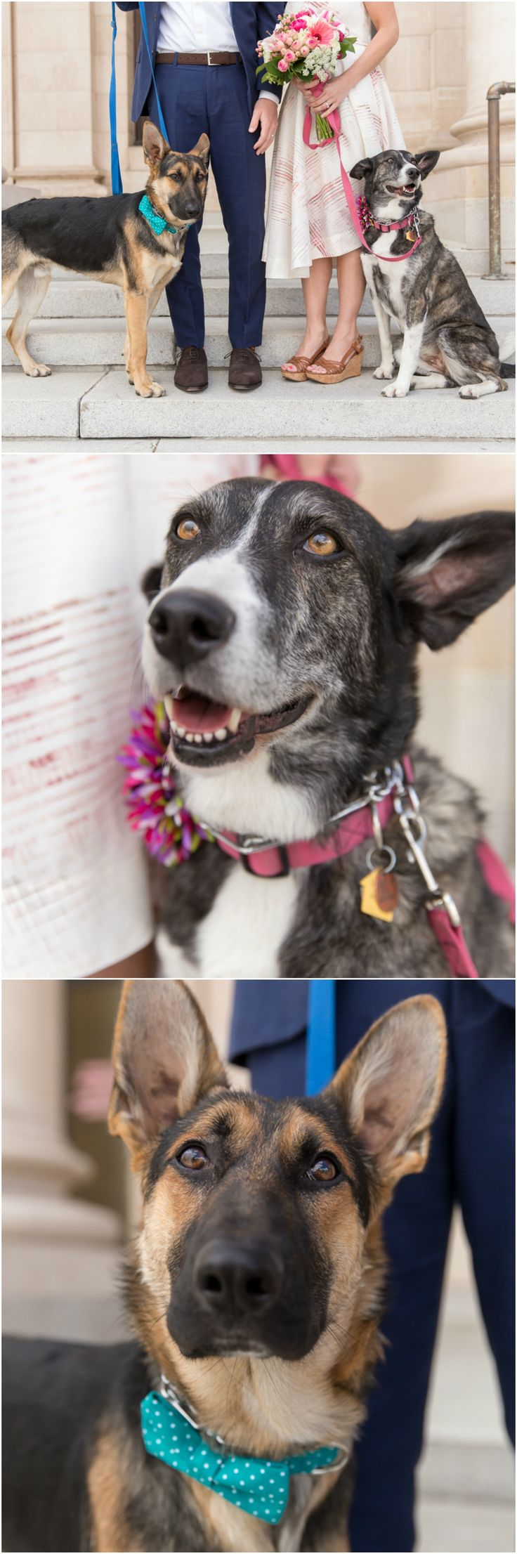 Wedding dogs, German Shepherd, pink collar with roses, turquoise collar with bowtie // Fifth and Chestnut Photo Co.