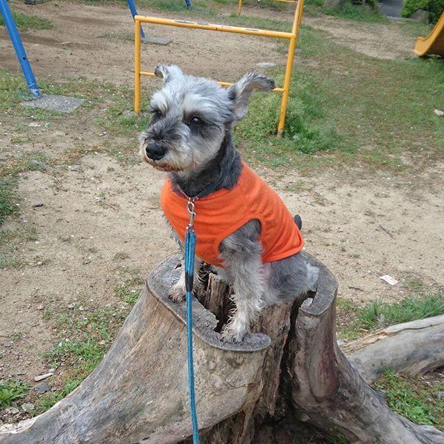公園のモニュメントを発見w 「木こり犬」とでも名付けましょうか💡 遠くを見つめる眼差しは気を食い散らかした後のドヤ顔ってとこでしょうかねw  #タルト#シュナウザー#ミニチュアシュナウザー#シュナスタグラム#愛犬#わんこ#まつげ#犬バカ部#親バカ部#miniatureschnauzer #schnauzer #dog
