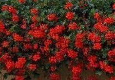 Krásných květů na muškátech dosáhnete použitím následujícího návodu na super hnojivo. Rozdrobte do vody (1 litru) 1 kostku droždí a nechte asi 14 dní kvasit. Poté roztok zřeďte 1 díl roztoku a 3 díly vody. Takto připraveným hnojivem zalijte muškáty.
