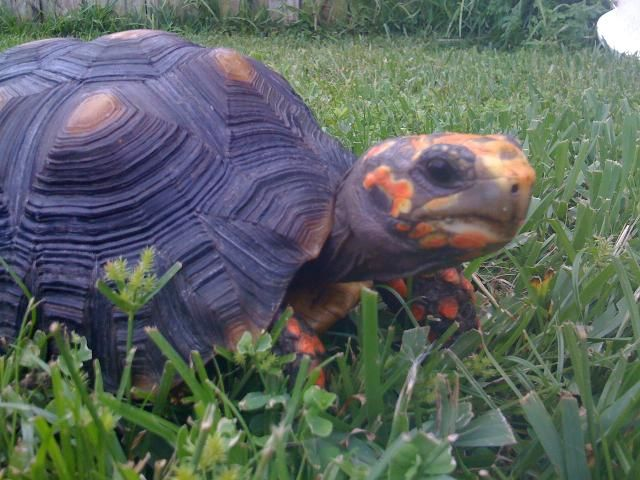 My red footed Tortise