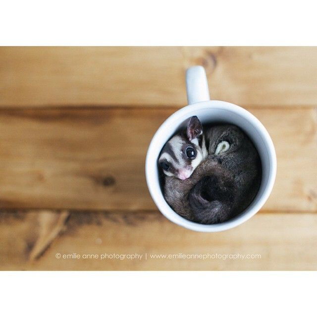 The sweetest cup! | Sugar Glider