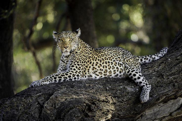 Spectacular wildlife viewing at #Mombo in the #OkavangoDelta #Botswana. #luxurysafaris in #Africa.#authenticktravel