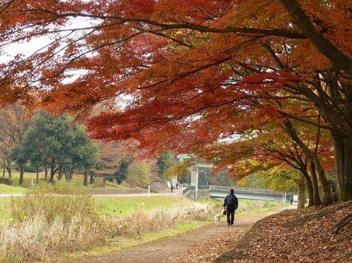 クヌギやコナラなど落葉広葉樹が中心の雑木林は、秋になると独特の風景を作り出します。<br />武蔵野というとこの雑木林の秋景色を思い出します。もちろん新緑の頃も好きですが・・・。<br /><br />野川公園の自然観察園は野草の定点観測地にしようと思っていますが、この季節は花は少ない。<br />その代わりに隣りの武蔵野公園は紅葉が美しい時期でした。<br /><br />予想以上に紅葉は進み、イチョウやモミジはすでに見頃。<br />ただし、時折薄日が射すものの紅葉撮りには難しいコンディション。<br />いろいろ試してみました。