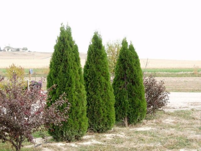 1000+ Ideas About Emerald Green Arborvitae On Pinterest | Best Trees For Privacy Backyard ...