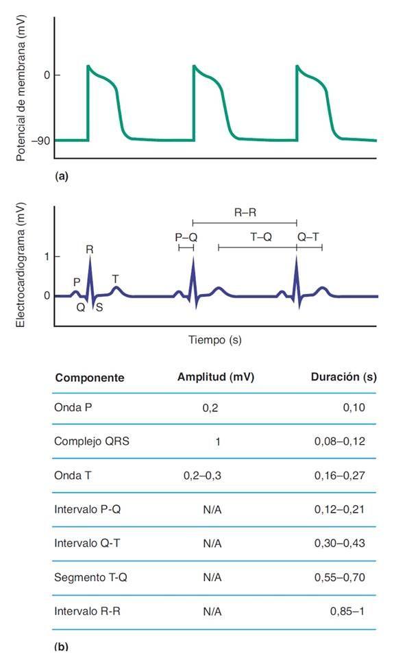 Amplitudes eléctricas (mV) y duraciones (S) normales de los trazos del electrocardiograma.