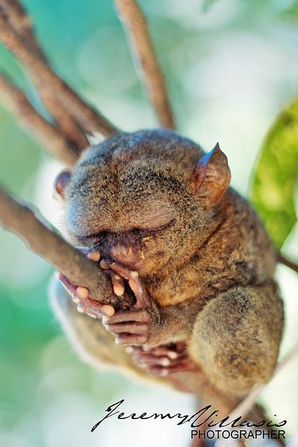 Rock-A-Bye...It's sleeping time for the endangered Philippine Tarsier (Tarsius syrichta).