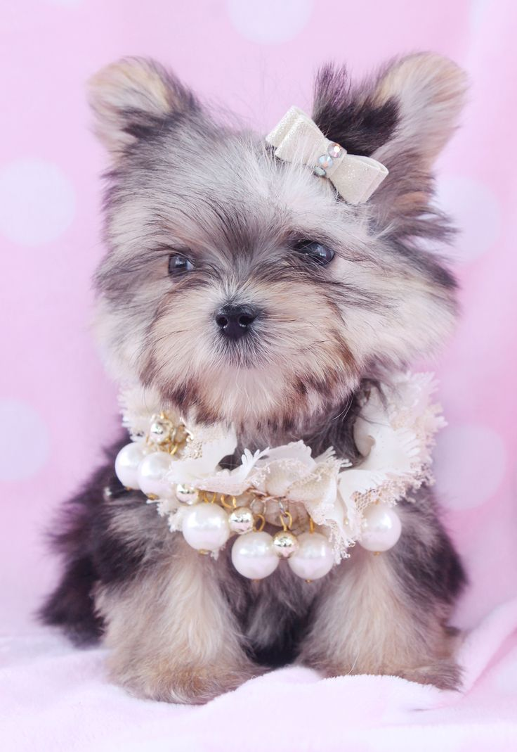 Teacup Morkie Puppy For Sale at TeaCups Puppies South Florida