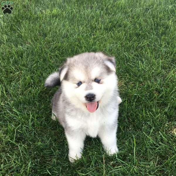 Hercules - Pomsky Puppy For Sale in Pennsylvania