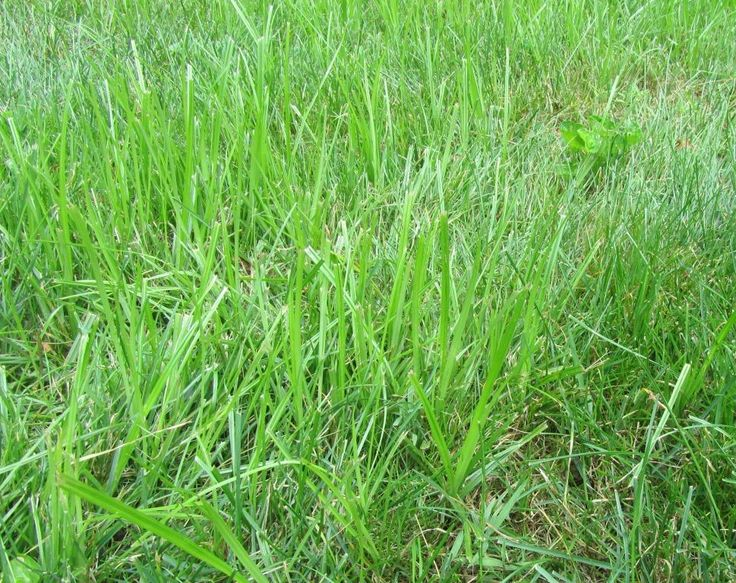 Treating weed grass