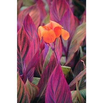 Canna Phasion (Indian Shot Plant) - don't know if it's hardy enough but it's worth having & bringing indoors in the winter - flowering height is 40inches! and flowers all summer long - am in love!