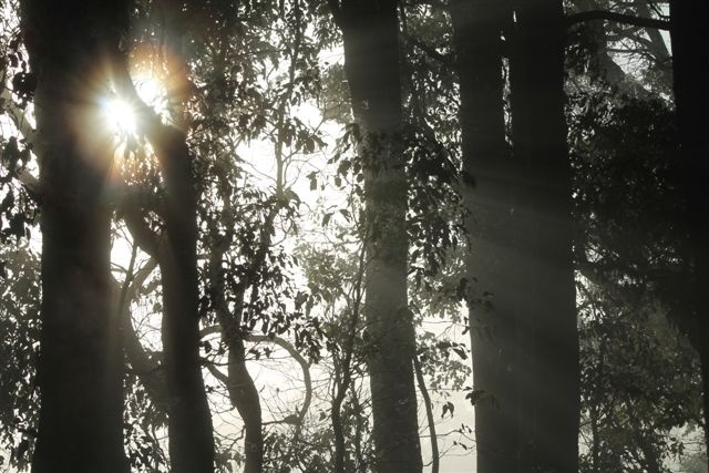 Sunrays through the Karri's at Big Brook Dam, Western Australia....Taken by Daphne Greenhow