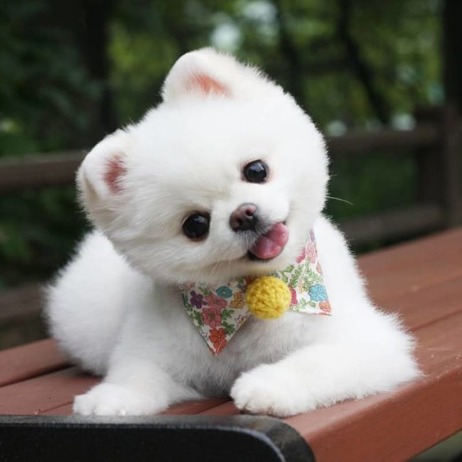 Best Pomeranian Images On Pinterest Pomeranian And Search - Someone should have told this dog owner that pomeranians melt in water