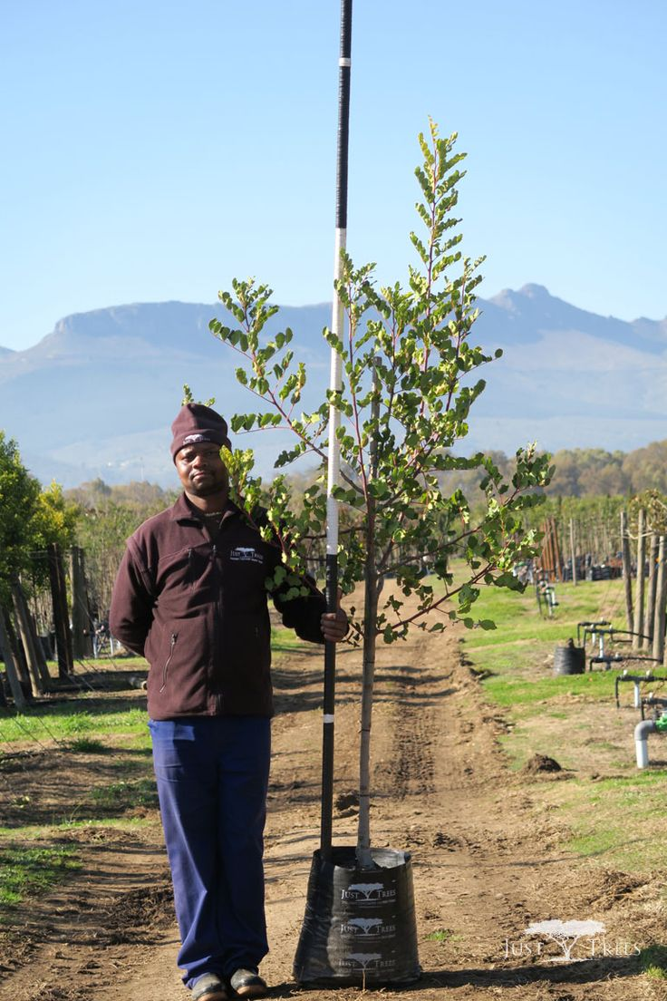 40 L Carob Tree, a beautiful evergreen tree, native to the Mediterranean. With its thick green foliage, it works well as windbreak or a screen for privacy.