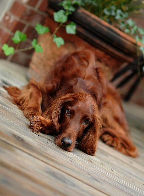 Didn't you say you wanted an Irish Setter?