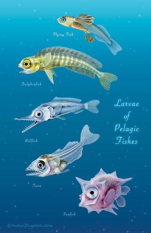 Larvae of Pelagic Fishes