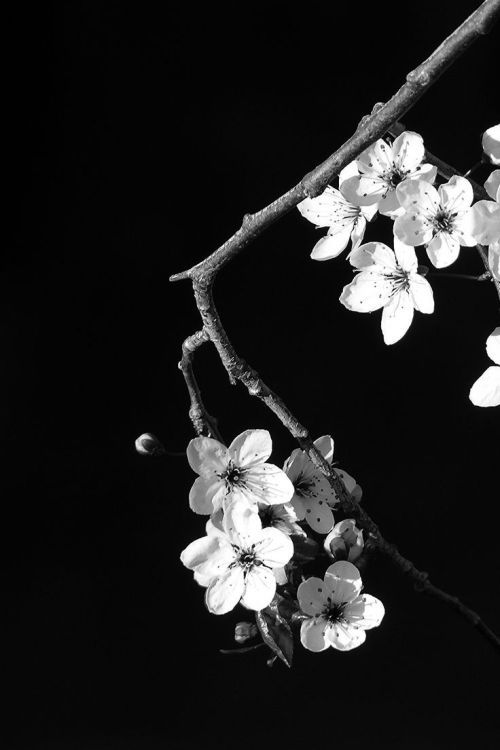 Spring Flowers Black Background White Photography Black