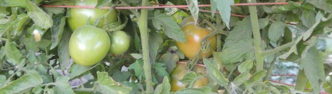 How tomatoes turn red, and how that information can help you to ripen green tomatoes.