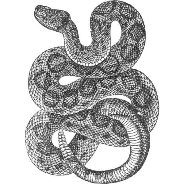 Best 25+ Rattlesnake tattoo ideas on Pinterest | Rattle ...