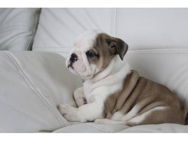 English Bulldogs Puppies Ready For New Home With Images English Bulldog Puppies Bulldog Puppies