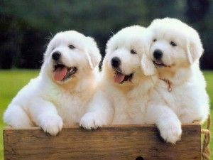 Great Pyrenees Pups; all Three Adorable Looking.