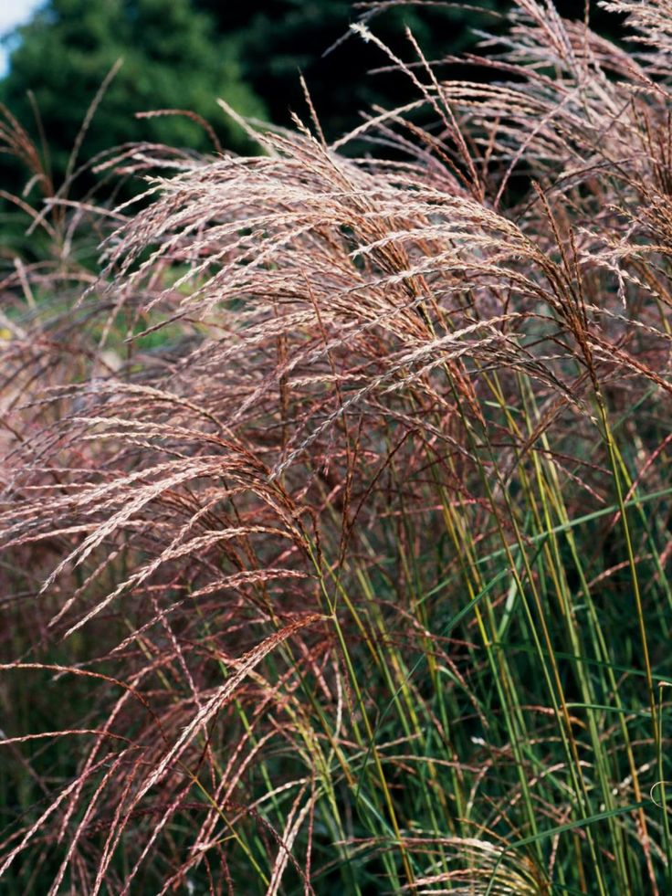 530 best gardening ornamental grasses images on for Planting schemes with grasses