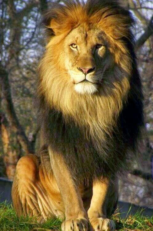 lions#selva#animals#