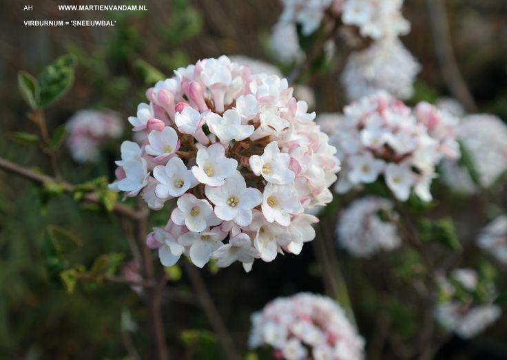 Viburnum 'Anne Russel' = sneeuwbal, bloeit wit/roze in april-mei, geurend! Heester tot 2.5 m. kan in zon of halfschaduw, op alle grondsoort en normale vochtigheid.