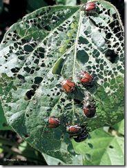 Japanese Beetles | Ways to Kill Japanese Beetles | Japanese Beetle Control | Garden Stuffs