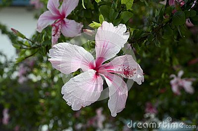 Hibiscus blossoms create a colorful border.