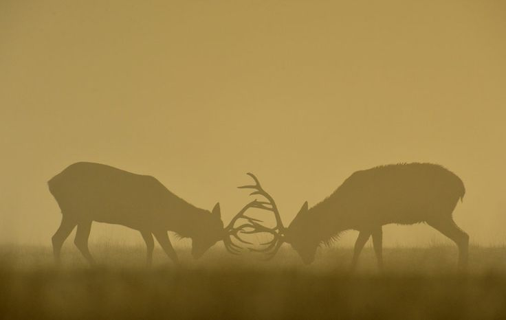 Two deer clash antlers during a misty morning in Richmond Park, south west London, on September 27, 2013. (Credit: Toby Melville/Reuters)