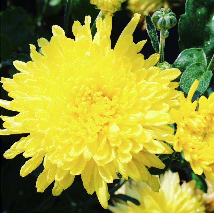 Chrysanthemum Morifolium Suncatcher Mum