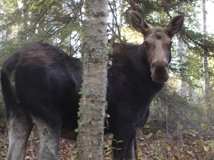 """Isle Royale - My wife said as we were sailing out from Thunder Bay. """"All I want to see on this trip is a moose."""" When we arrived at the dock there were three waiting for us as we came ashore. We then went for a walk up the trail. I don't have a telephoto lens. Who do you think was more surprised?"""