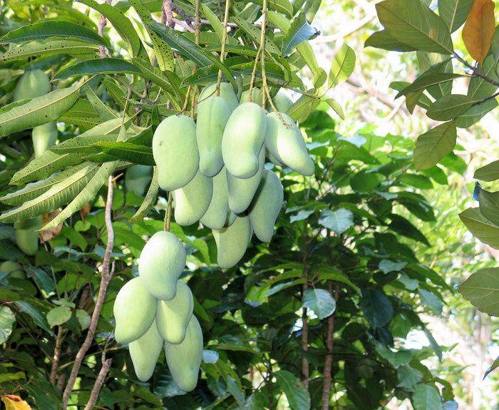 Nezralé mango na stromě