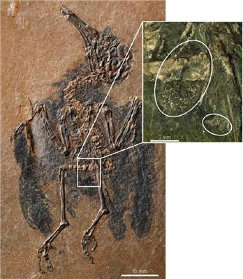 Age-old relationship between birds and flowers: World's oldest fossil of a nectarivorous bird