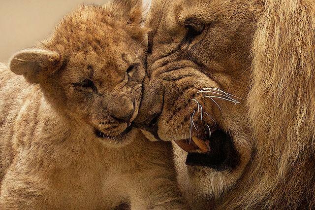 Kostenloses Bild auf Pixabay - Löwe, Tier, Raubtier, Großkatze