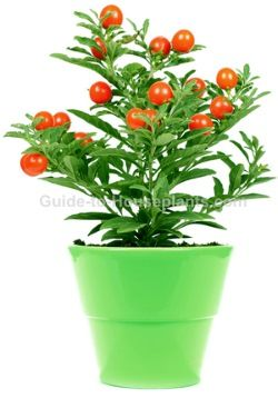 Find out how to grow Jerusalem Cherry plant in a container. Get care tips for growing, watering, pruning, and planting Solanum pseudocapsicum.