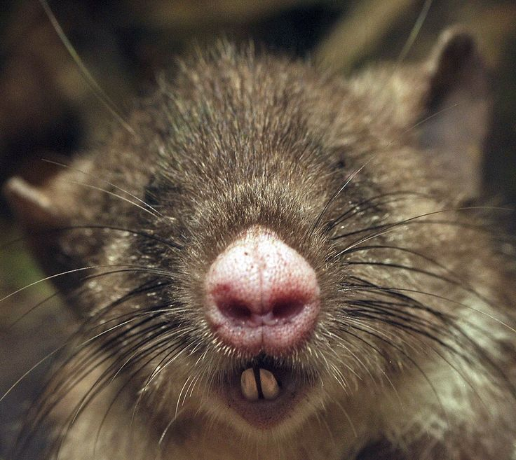 """'The rat has a number of strange features, like the flat, pink nose and forward-facing nostrils it was named for, but also including long hind legs possibly used for hopping, long white incisors protruding from a tiny mouth (which have been described as """"vampire teeth"""")' Hog-nosed rat discovered in Sulawesi is so unique it's been placed in its own genus:"""
