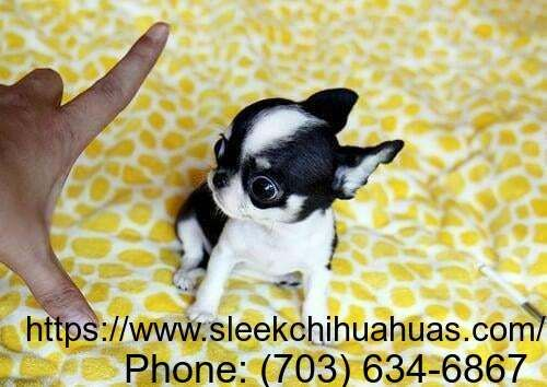 Buy Best Chihuahua Puppies Foe Sale We Bring You The Top Notch
