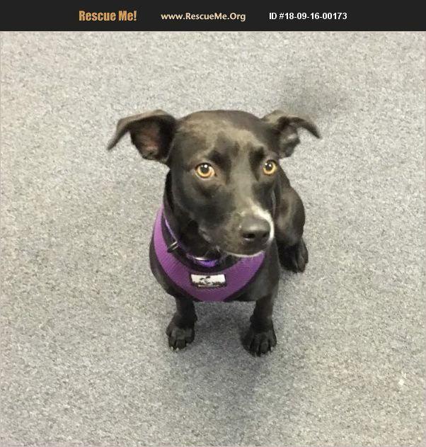 Adopt 18091600173 Chihuahua Rescue Bronson Mi Pet Adoption