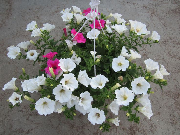 Riippupetunia 'Surfinia White' ja 'Surfinia Hot Pink'