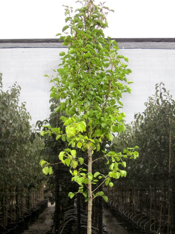 Ornamental Pear Cleveland Select