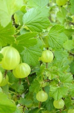 recipe: american gooseberry mildew treatment [28]