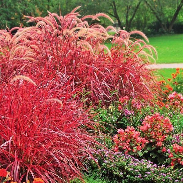 722 best ornamental grasses and landscape grasses images for Ornamental oat grass varieties