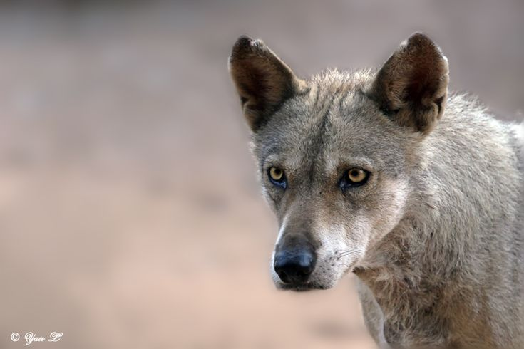 characteristics of gray wolves Gray wolf, (canis lupus), also called timber wolf, largest wild member of the dog  family (canidae) it inhabits vast areas of the northern hemisphere.
