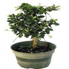 "Mini Fukien Tea Pre Bonsai Tree Carmona 4"" Pot Indoors Tropical Plant Flowers"