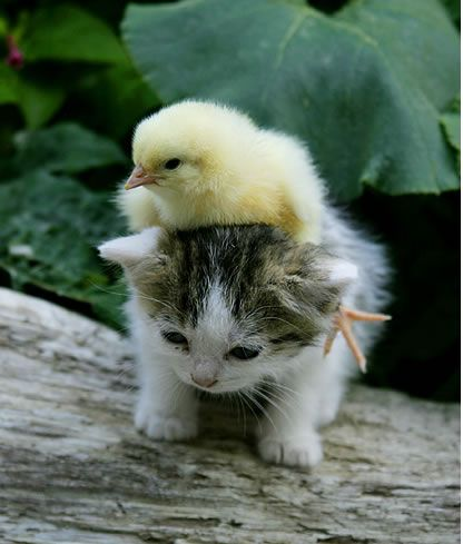 Here we have a very cute chick hitching a ride on a kitten taxi