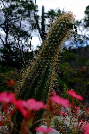 Xerófita nativa da caatinga, Brasil