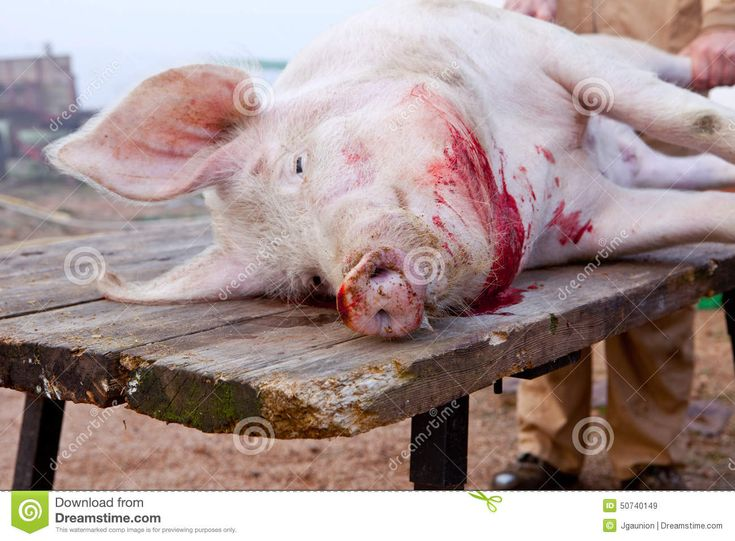 Traditional home slaughtering in a rural area. Dead pig over the butcher table just after killing