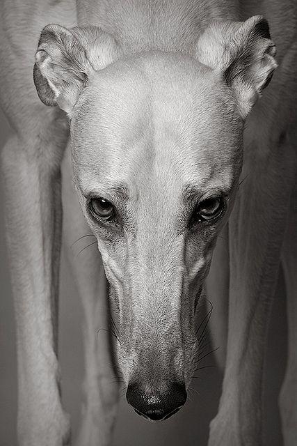 Gable, retired Greyhound...such gentle dogs.