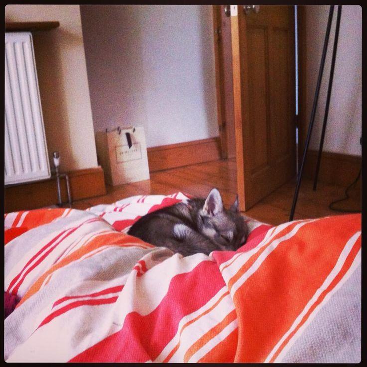 Alaskan Klee Kai Puppy Sleeping Pets Pinterest